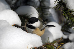 Black-capped Chickadee Stock Photos
