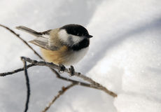 Black-capped Chickadee. Picture of a Black-capped Chickadee (Poecile Atricapillus) in the snow royalty free stock photo