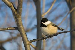 Black capped chickadee. Perched on a branch royalty free stock image