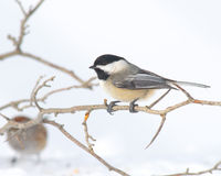 black capped chickadee Arkivfoto