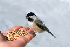Black-capped Chickadee. (Poecile atricapilla) on a hand Stock Photos