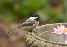 black capped chickadee royaltyfri bild
