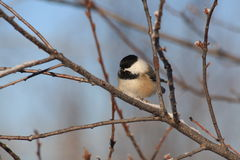 Black capped chickadee. A chickadee feeds on seeds Royalty Free Stock Image