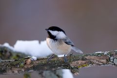 Black Capped Chickadee. Poecile atricapilla in winter royalty free stock images
