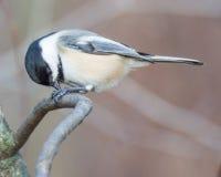 black capped chickadee Fotografering för Bildbyråer