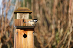 black capped chickadee arkivfoto