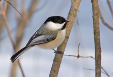Black-capped Chickadee. A Black-capped Chickadee perched on a branch in a winter garden royalty free stock images