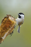 Black Capped Chickadee a4 royalty free stock image