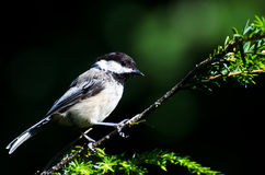Black-Capped Chickadee Against A Green Background Royalty Free Stock Photography