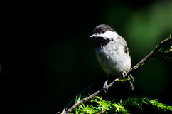 Black-Capped Chickadee Against A Green Background Royalty Free Stock Photos