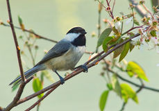 Black-capped Chickadee. Amid apple blossoms royalty free stock photo
