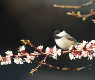 Black Capped Chickadee. A Black Capped Chickadee on a apple branch Stock Photography