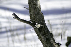 Black Capped Chickadee on Apple Tree stock image