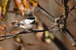 Black-Capped Chickadee in Autumn Royalty Free Stock Photos