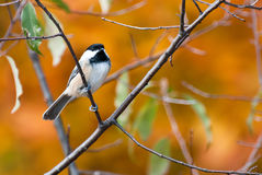 Black-Capped Chickadee in Autumn Royalty Free Stock Image