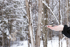 Black-capped Chickadee being fed from a human hand in the woods on a winter day stock photos
