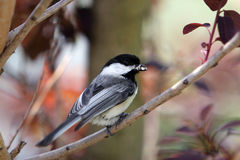 Black-Capped Chickadee Bird. On a branch, with food in it's mouth for the babies royalty free stock photo