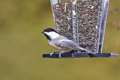 Black-capped Chickadee at a Bird Feeder. A tiny Black-capped Chickadee (Poecile atricapillus) perched on a backyard bird feeder filled with sunflower seeds stock image