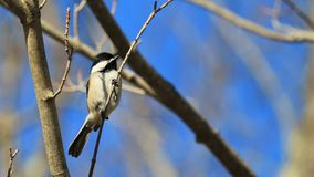 Black Capped Chickadee. This bird, a Black-Capped Chickadee from New Hampshire, perches on a thin branch at the beginning of spring royalty free stock photography