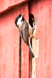 Black-capped Chickadee Bird Perched Over Nest Feeding Young Royalty Free Stock Image