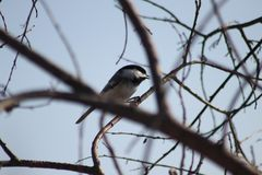 Black-Capped Chickadee. Sitting on a brance royalty free stock image