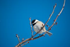 Black-capped Chickadee on a Branch Royalty Free Stock Image