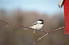 Black-capped Chickadee on a Branch Royalty Free Stock Photo