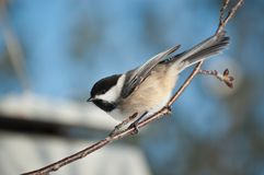 Black-capped Chickadee on a Branch Royalty Free Stock Images
