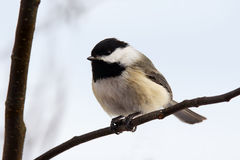 Black-capped chickadee on branch Royalty Free Stock Photography