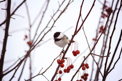 Black-capped Chickadee on a branch Stock Photography