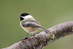 Black Capped Chickadee on a Branch. A black capped chickadee (Poecile atricapillus) perching on a branch Royalty Free Stock Image