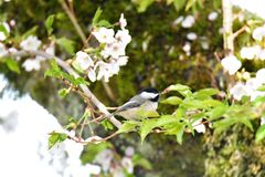 Black capped chickadee in cherry blossom. NIn the spring time,chickadee perched into cherry blossom. Burnaby Mt. April.morningn stock images