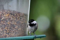 Black capped chickadee Stock Photo