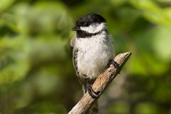 Black Capped Chickadee. Close of a Black capped chickadee perched on a branch Stock Images