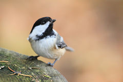 Black capped chickadee. Close up shot of black capped chickadee royalty free stock photography
