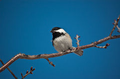 Black-Capped Chickadee Eating a Seed. Stock Photography