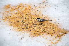 Black Capped Chickadee eating seeds from the snowy ground royalty free stock photos
