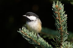 Black capped Chickadee on evergreen branch Royalty Free Stock Photo