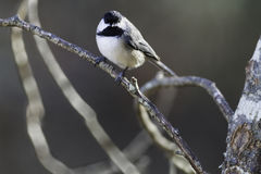 Black-capped Chickadee eye contact. Black-capped Chickadee catch light eye contact royalty free stock image