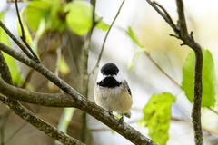 Black-capped Chickadee eye contact Royalty Free Stock Images
