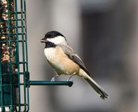 Black-capped Chickadee at Feeder. A close up detailed view of a Black-capped Chickadee at feeder stock image