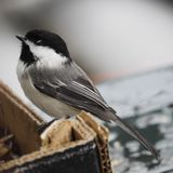 Close up of a Black Capped Chickadee royalty free stock photos