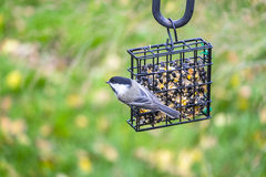 Free Black-capped Chickadee Feeding On Seed Cake 6 Royalty Free Stock Images - 61426699