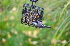 Black-capped Chickadee Feeding on Seed Cake #1 Royalty Free Stock Photo