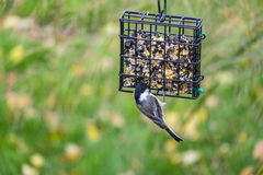 Black-capped Chickadee Feeding on Seed Cake #2 Royalty Free Stock Images
