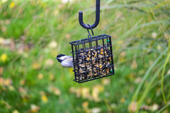 Black-capped Chickadee Feeding on Seed Cake #3 Royalty Free Stock Photography