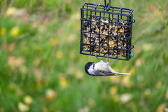 Black-capped Chickadee Feeding on Seed Cake #7 Stock Images