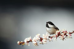 Black-capped chickadee in flight Stock Photography