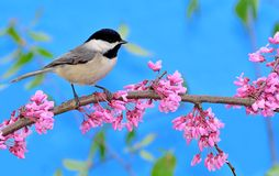 Black- capped Chickadee At Flowering Redbud. A Black- capped Chickadee (Poecile atricapillus) on a flowering redbud branch royalty free stock photos