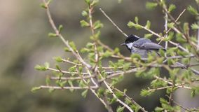 Black-capped chickadee full of details on a branch royalty free stock photography